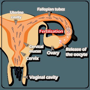 ovulation_uk