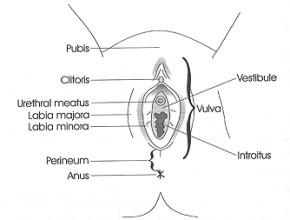 vulvar_anatomy